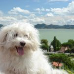 Bolognese Dog Breed (Complete Guide)