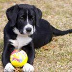 Borador Dog Breed (Complete Guide)