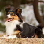 Border Sheepdog Dog Breed (Complete Guide)