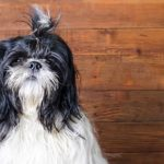 BoShih Dog Breed (Complete Guide)