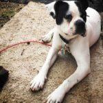 Boston Boxer Dog Breed (Complete Guide)