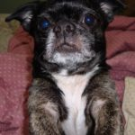 Boston Terrier Pekingese Mix Dog Breed (Complete Guide)