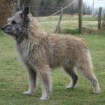 Bouvier des Ardennes Dog Breed (Complete Guide)