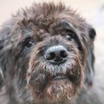 Bouvier des Flandres Dog Breed (Complete Guide)
