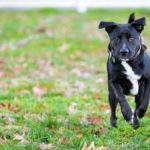 Boxador Dog Breed (Complete Guide)