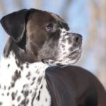 Boxmatian Dog Breed (Complete Guide)