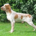Bracco Italiano Dog Breed (Complete Guide)