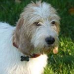 Briquet Griffon Vendeen Dog Breed (Complete Guide)