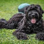 Black Russian Terrier Dog Breed (Complete Guide)