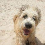 Barbado da Terceira Dog Breed (Complete Guide)