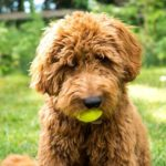 Barbet Dog Breed (Complete Guide)