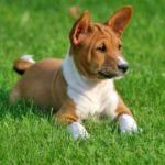 Basenji Dog Breed (Complete Guide)