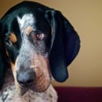 Bluetick Coonhound Dog Breed (Complete Guide)