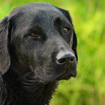 Afador Dog Breed (Complete Guide)