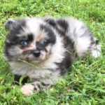 Aussiepom Dog Breed (Complete Guide)