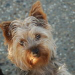 Biewer Terrier Dog Breed (Complete Guide)